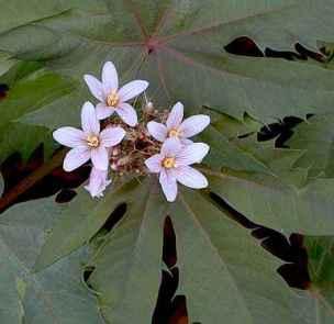 jatropha macrorhiza
