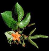 jatropha macarantha