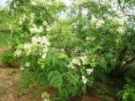 Moringa flower k