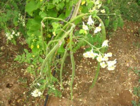 Moringa fruit