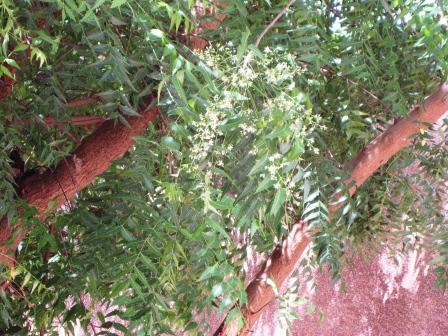 az azadirachta indica féreghajtó hatása)