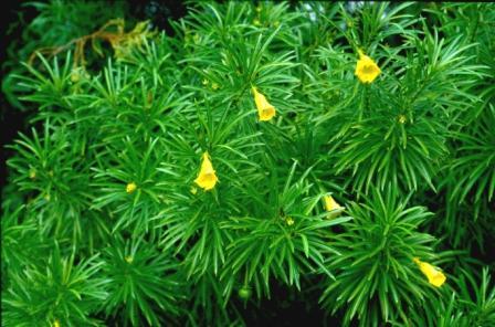 Thevetia klein