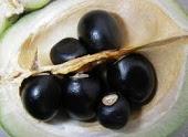 xantoceras fruits