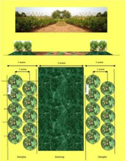 intercropping model