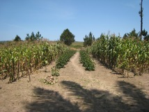 correct intercropping with maize