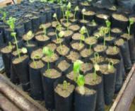 kiemplanten