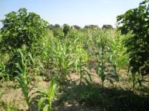 wrong intercropping with maize